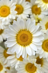 Couleurs Daisies