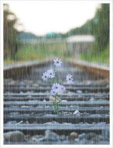 Pluie + fleurs rails de train