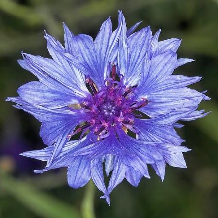 Centaurea Plante